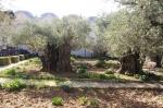 Ogród Oliwny – Getsemani i Bazylika Męki Pańskiej
